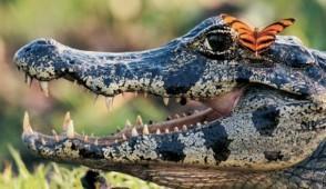 caiman in ibera